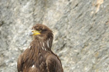falconry: raptor at falconry show #2