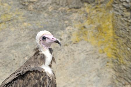 falconry: raptor at falconry show #3 Stock Photo