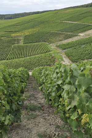 champagne hilly vineyard #3, epernay Stock Photo