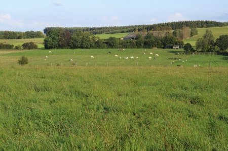 meadows with herds, ardennes