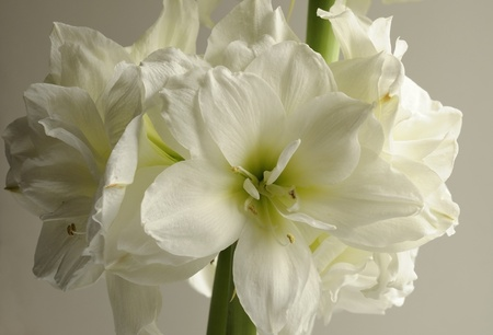 gorgeous white amaryllis Stock Photo