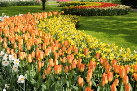orange imperor tulips, netherlands Stock Photo - 13891865