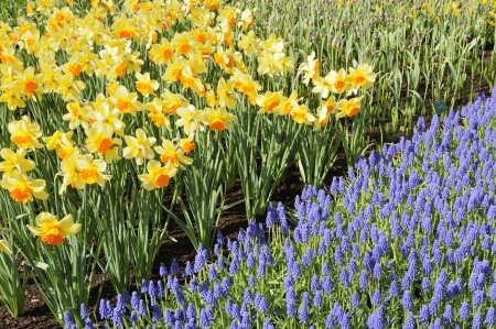 narcissi and muscari, keukenhof Stock Photo - 13891889