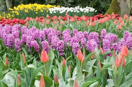 violet hyacinths, keukenhof Stock Photo - 13891928