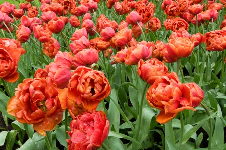 double dutch tulips, netherlands Stock Photo - 13891922
