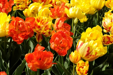 monte orange tulips, netherlands Stock Photo - 13891908