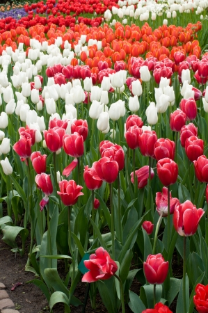 red, white and orange tulips, netherlands Stock Photo - 13891903