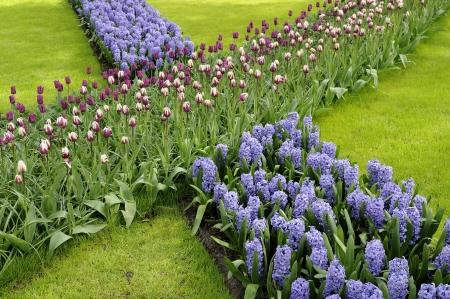 hyacinths and tulips, keukenhof Stock Photo - 13891947