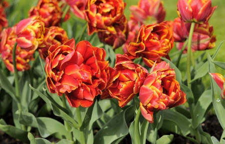 la farque tulips, netherlands                      close up of red  tulips at important flower park in netherlands, shot in springtime at blossoming peak Stock Photo - 13989437