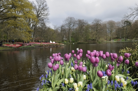 tulips and lake, keukenhof                      foreshorhening of important flower park in netherlands with violet tulips in foreground, shot in springtime at blossoming peak Stock Photo - 13989504