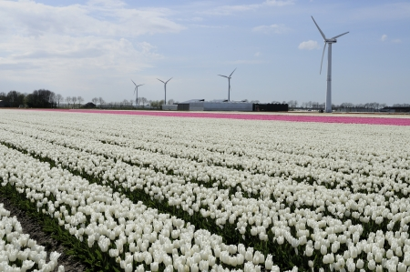 clean energy amidst white tulips           view of tulip filed in open country, shot in springtime at blossoming peak, in background wind power units