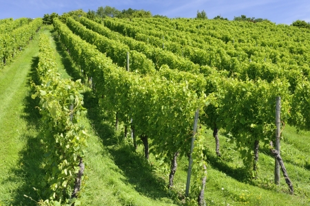 hilly vineyard, Stuttgart  Stock Photo - 17030323