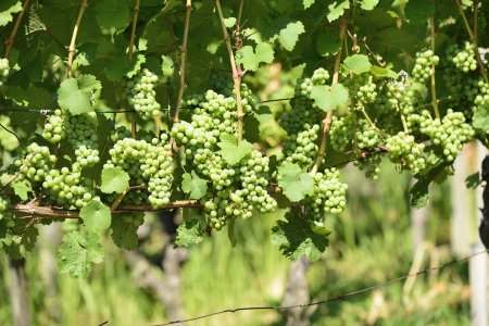 detail of grapes in vineyards surrounding the important industrial town Stock Photo - 17130925