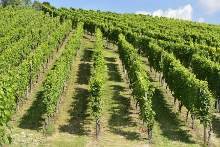 foreshortening of hilly vineyard with multiple lines of plants on the hills surrounding the important industrial town Stock Photo - 17130937