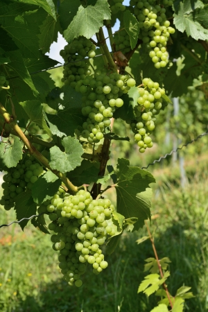 detail of grapes in vineyards surrounding the important industrial town Stock Photo - 17130941