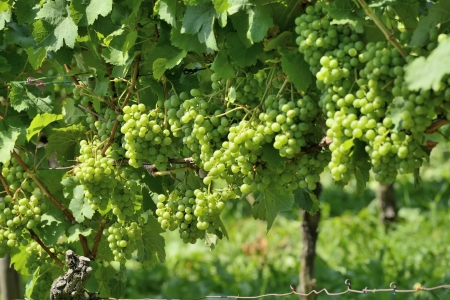 detail of grapes in vineyards surrounding the important industrial town Stock Photo - 17130926