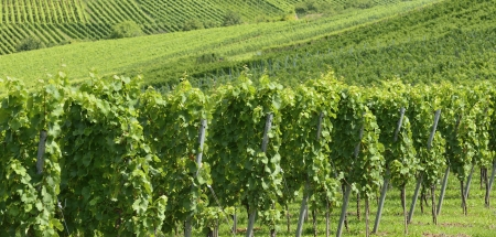 foreshortening of hilly vineyard with multiple lines of plants on the hills surrounding the important industrial town Stock Photo - 17130943
