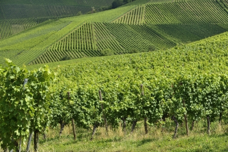 landscape of hilly vineyard with multiple lines of plants on the hills surrounding the important industrial town Stock Photo - 17130920