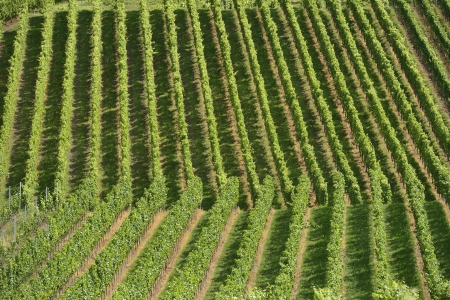 foreshortening of hilly vineyard with multiple lines of plants on the hills surrounding the important industrial town photo