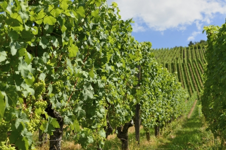detail of grapes in vineyards surrounding the important industrial town