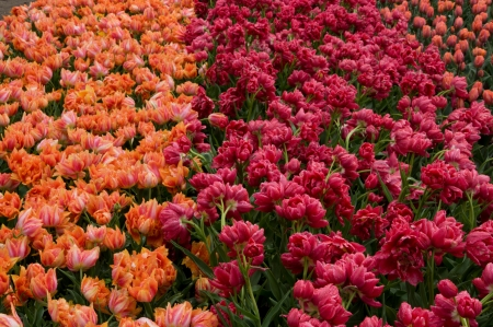 willelm van oranje and electra tulips, close up of field of tulips at important flower park in netherlands, shot in springtime at blossoming peak Stock Photo - 18144168