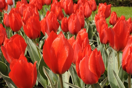 rob verlinden tulip, netherlands, close up of red tulips at important flower park in netherlands, shot in springtime at blossoming peak Stock Photo - 18144167