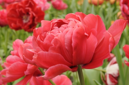 bd506 tulip, netherlands, close up of red tulips at important flower park in netherlands, shot in springtime at blossoming peak Stock Photo - 18144154