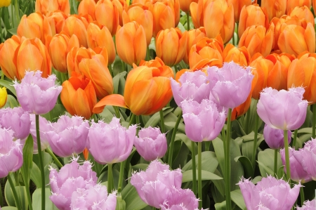 lilac and baloon tulips, netherlands, close up of orange and violet tulips at important flower park in netherlands, shot in springtime at blossoming peak Stock Photo - 18144156