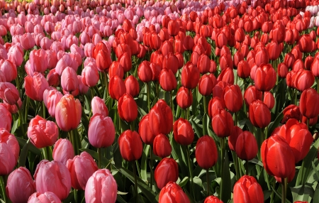 impression tulips, netherlands, close up of red and pink  tulips at important flower park in netherlands, shot in springtime at blossoming peak Stock Photo - 18144159