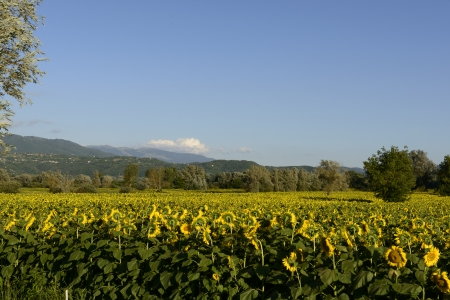 rieti: sunflowers fields in the  holy valley   04, Rieti ; landscape with yellow sunflowers fields in the lush green countryside of the  holy valley , so called since san Francesco lived there, shot in bright summer light  with Terminillo mountain in distance
