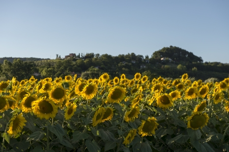 sunflowers fields in the  holy valley  09,landscape with yellow sunflowers fields in the lush green countryside of the  holy valley , so called since san Francesco lived there, shot in backlight of bright summer light, in Colli on Velino hills photo