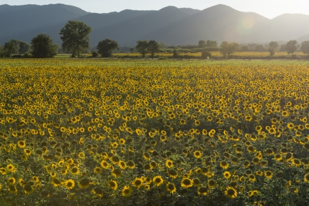 landscape with yellow sunflowers fields in the lush green countryside of the holy valley, so called since san Francesco lived there, shot in backlight of bright sunset summer light, in Sabini hills ridge  photo