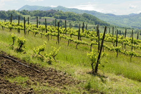 vines in Curone valley, Piedmont, Italy  vine cultivation in relaxing country landscape  of the green smooth hills near Tortona, shot in springtime Stock Photo