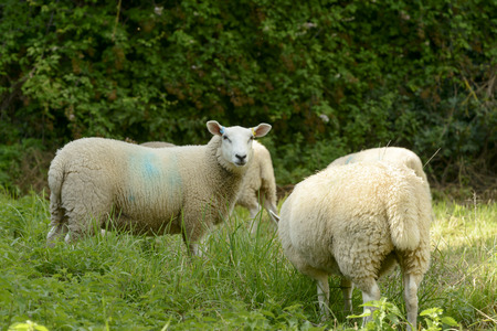 ovine: sheep grazing at Abbey park , Lacock, shot in bright light from the public street in  historic touristic village of Somerset