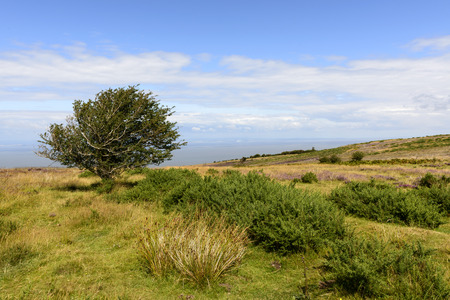 bristol channel: lone tree in moor and Bristol channel, Exmoor,  landscape with moor vegetation, in background the sea of Bristol channel