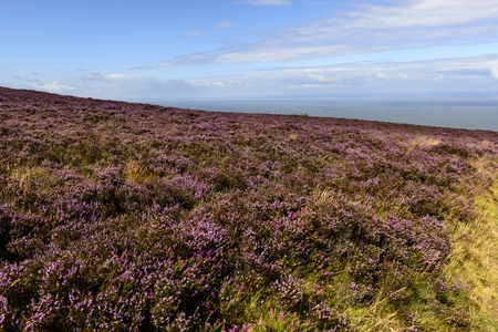bristol channel: heather field  in moor and Bristol channel, Exmoor , landscape with moor vegetation, in background the sea of Bristol channel
