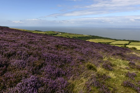 bristol channel: bblossoming heather  in moor and Bristol channel, Exmoor , landscape with moor vegetation, in background the sea of Bristol channel Stock Photo