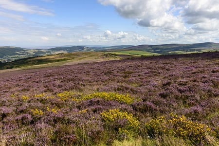 blossoming heather  in moor, Exmoor , landscape with moor vegetation, in background the hilly countryside