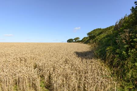 cornwall: grain field and hedge , Cornwall