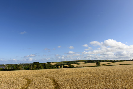 glades: grain fields near Leedston, Cornwall, landscape with glades of ripe grain cultivation in hilly country, shot in summer bright light