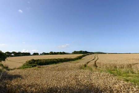 glades: grain fields under blue sky, Cornwall, landscape with glades of ripe grain cultivation in hilly country, shot in summer bright light Stock Photo