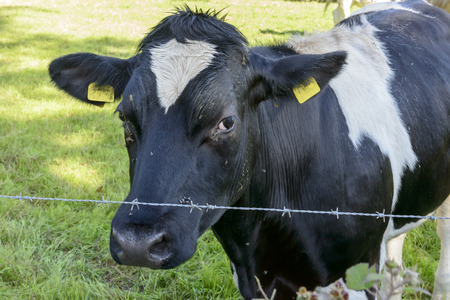 piebald: muzzle of black and white cow and barbed wire, Cornwall, portrait of a piebald cow in front of a line of barbed wire that closes the field of Cornwall in which is pasturing