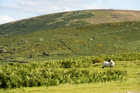 ovine: sheep in the moor, Dartmoor, sheep grazing in grass field of hilly Dartmoor countryside Stock Photo