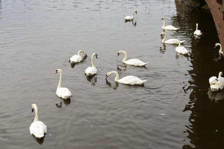 swans in the river Exe, Exeter, a group of swans floating in river Exe That flows in town center Stock Photo
