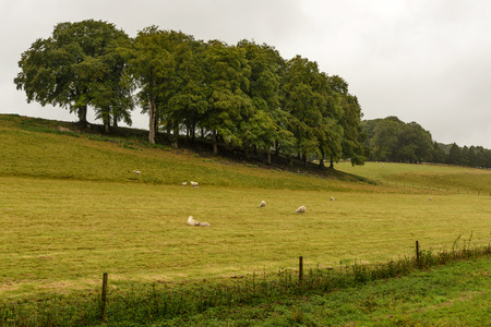 wiltshire: Wiltshire countryside with sheep, flock of sheep grazing in grass field of hilly Wiltshire countryside