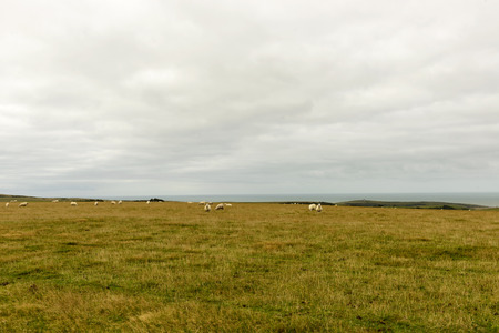 sheep grazing in Downs near Eastbourne, landscape with some sheep grazing on green Downs countryside with sea in distance, near Eastbourne, East Sussex