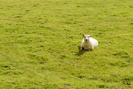 portrait of a lone sheep resting in grass flied near Bodiam, East Sussex