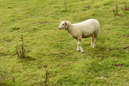 ovine: portrait of a lone sheep standing in grass field near Bodiam, East Sussex