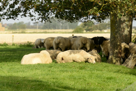 kent: flock of sheep under a tree, Romney Marsh, a group of sheep rests under the shadow of a tree in Romney Marsh, Kent