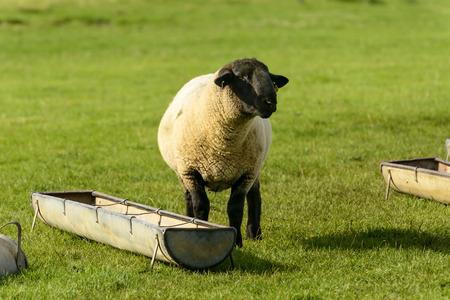 romney: Romney Marsh sheep 02, portrait of a sheep near a trough in a green field at Romney Marsh, Kent Stock Photo